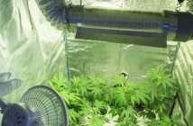 Avoiding Insects in Indoor Marijuana Gardens