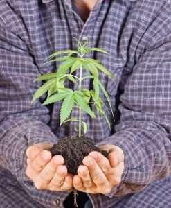 cannabis or marijuana
