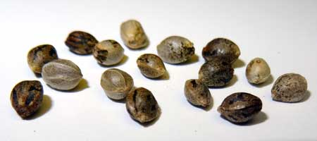 Although each of these cannabis seeds look different, they're all viable! - How to germinate marijuana seeds