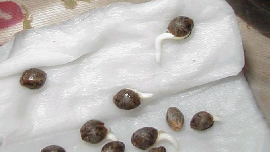 Marijuana seeds that have just sprouted - How to germinate marijuana seeds